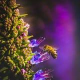Abeja que poliniza la flor púrpura Fotografía de archivo