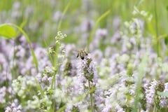 Abeja que poliniza la flor púrpura Imagen de archivo libre de regalías