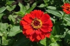 Abeja que poliniza la flor roja del zinnia Imágenes de archivo libres de regalías