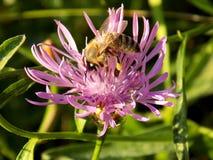 Abeja que poliniza la flor rosada Foto de archivo libre de regalías
