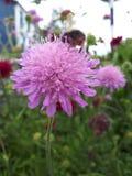 Abeja que poliniza la flor rosada fotografía de archivo