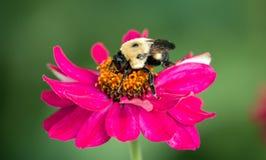 Abeja que poliniza la flor rosada Fotos de archivo