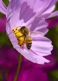 Abeja que poliniza la flor rosada del cosmos Foto de archivo libre de regalías