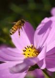 Abeja que poliniza la flor rosada del cosmos Fotografía de archivo