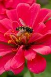 Abeja que poliniza la flor rosada del Zinnia Imagen de archivo libre de regalías