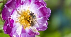 Abeja que poliniza la rosa del rosa salvaje Foto de archivo libre de regalías