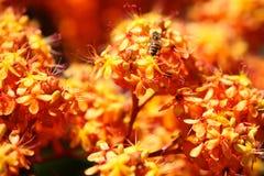 Abeja que poliniza las flores coloridas, Tailandia Imágenes de archivo libres de regalías