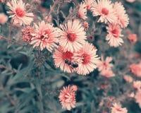 Abeja que poliniza las flores del otoño de la púrpura Imagenes de archivo
