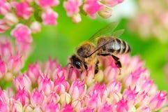 Abeja que poliniza las flores rosadas de Sedum Fotos de archivo libres de regalías