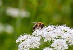 Abeja que poliniza las pequeñas flores blancas Marco completo macro Imagenes de archivo