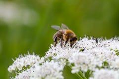 Abeja que poliniza las pequeñas flores blancas Marco completo macro Imágenes de archivo libres de regalías