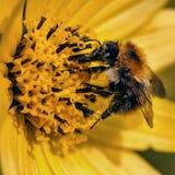 Abeja que poliniza macro amarilla del primer de la flor Fotos de archivo