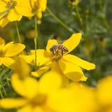 Abeja que poliniza margaritas amarillas en jardín en día soleado brillante Fotografía de archivo