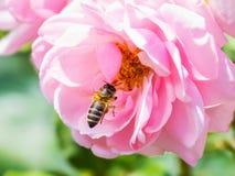 Abeja que poliniza a Rose rosada Imagenes de archivo
