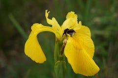 Abeja que poliniza un iris de la bandera amarilla Foto de archivo libre de regalías