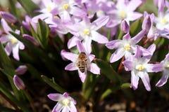 Abeja que poliniza un scilla azul de la flor de la primavera Flores del Scilla que florece en abril Flor brillante de la primaver Fotografía de archivo