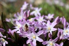 Abeja que poliniza un scilla azul de la flor de la primavera Flores del Scilla que florece en abril Flor brillante de la primaver Foto de archivo libre de regalías