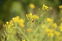 Abeja que poliniza un Wildflower Foto de archivo libre de regalías