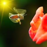 Abeja que poliniza una flor Fotografía de archivo