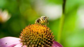 Abeja que poliniza una flor Imagen de archivo libre de regalías