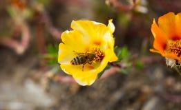 Abeja que poliniza una flor Fotos de archivo