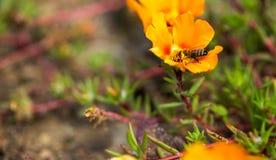 Abeja que poliniza una flor Imágenes de archivo libres de regalías