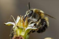Abeja que poliniza una flor Fotos de archivo libres de regalías
