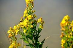Abeja que poliniza una flor amarilla Imagenes de archivo