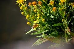 Abeja que poliniza una flor amarilla Fotografía de archivo libre de regalías
