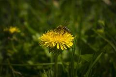 Abeja que poliniza una flor amarilla Imagen de archivo