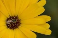 Abeja que poliniza una flor amarilla del calendula Foto de archivo