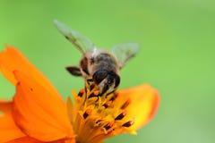 Abeja que poliniza una flor anaranjada del coreopsis Fotos de archivo