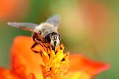 Abeja que poliniza una flor anaranjada del coreopsis Imagenes de archivo