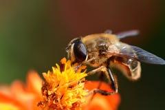 Abeja que poliniza una flor anaranjada del coreopsis Foto de archivo libre de regalías