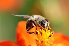 Abeja que poliniza una flor anaranjada del coreopsis Imagen de archivo