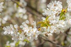 Abeja que poliniza una flor blanca Abeja en la flor blanca Imagen de archivo libre de regalías