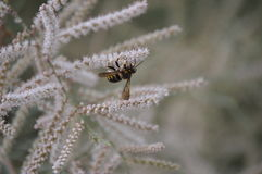 Abeja que poliniza una flor blanca preciosa del árbol Foto de archivo libre de regalías