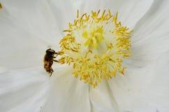 Abeja que poliniza una flor de la peonía Imagen de archivo