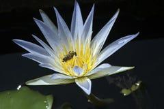 Abeja que poliniza una flor de loto en el lago tranquilo Foto de archivo