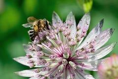 Abeja que poliniza una flor del astrantia Fotos de archivo libres de regalías