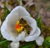 Abeja que poliniza una flor del azafrán blanca Imagen de archivo
