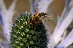 Abeja que poliniza una flor del eryngium Imagen de archivo