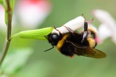 Abeja que poliniza una flor del salvia Fotografía de archivo