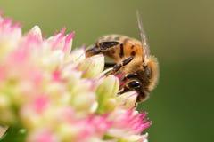 Abeja que poliniza una flor del sedum Fotografía de archivo
