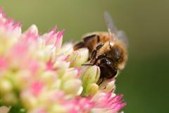Abeja que poliniza una flor del sedum Foto de archivo