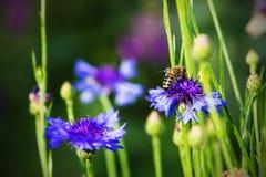 Abeja que poliniza una flor, fondo de la naturaleza Foto de archivo libre de regalías