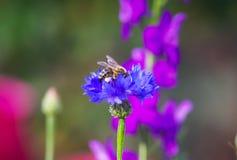 Abeja que poliniza una flor, fondo de la naturaleza Imagen de archivo libre de regalías