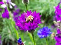 Abeja que poliniza una flor, fondo de la naturaleza Imagen de archivo