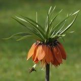 Abeja que poliniza una flor imperial de corona Imagenes de archivo