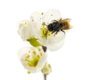 Abeja que poliniza una flor - mellifera de los Apis Fotos de archivo